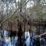 Aucilla River (Deb Blick)