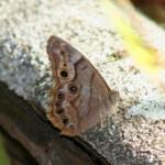 pearly-eye-butterfly.jpg